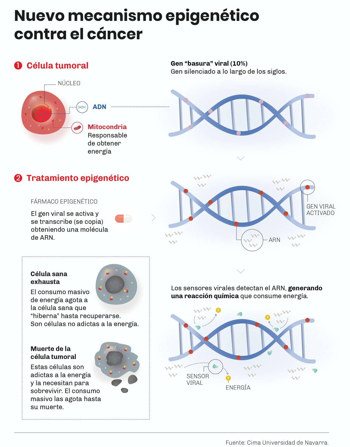 Infografía que explica la inducción de muerte celular en varios cánceres con una terapia epigenética que provoca una respuesta antiviral. Cima Universidad de Navarra